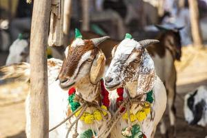 chèvres à vendre au bazar photo