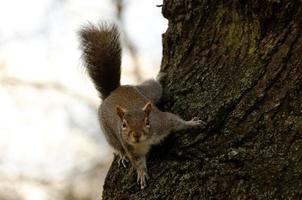 écureuil gris photo