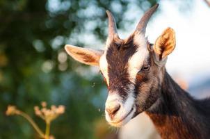 le pâturage de la chèvre photo