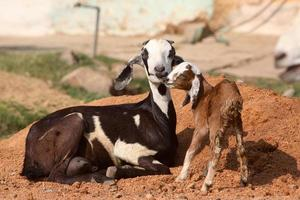 chèvre et chevreau à madhya pradesh, inde