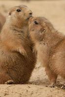 chiens de prairie câlins et montrant de l'affection