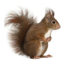 profil latéral d'un écureuil roux eurasien de 4 ans