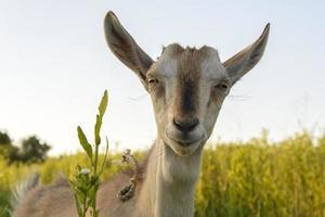 chèvre dans l'herbe