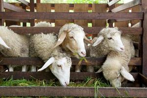 moutons mangeant photo