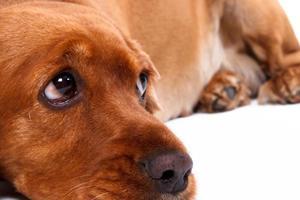 cocker anglais chien couché photo