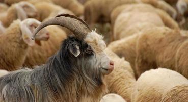 chèvre dans le troupeau