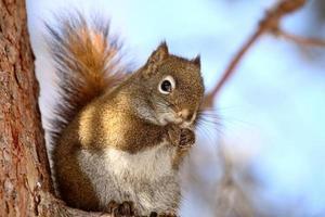 écureuil roux sur une branche d'arbre photo