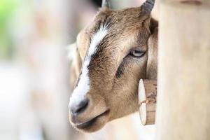 chèvre au zoo. photo