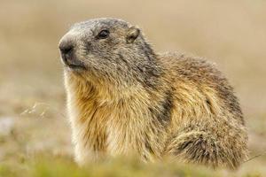 Portrait de marmotte isolé sur fond de montagne