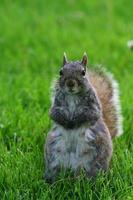 écureuil, debout, yard