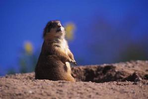 chien de prairie vigilant