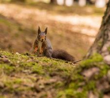 écureuils roux