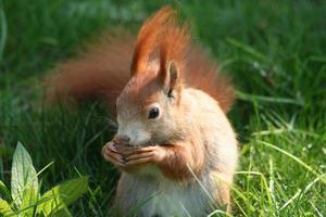 écureuil mâle