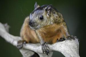 écureuil panaché