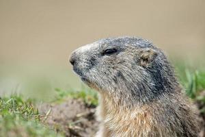 portrait de marmotte de porc au sol tout en vous regardant photo