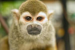 singe écureuil commun (saimiri sciureus)