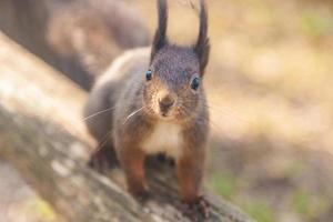 écureuil roux photo