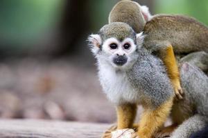 écureuil singe