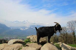 chèvre de montagne photo