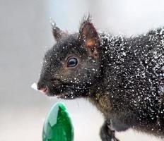 écureuil de noël photo