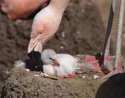 flamingo mère et poussin