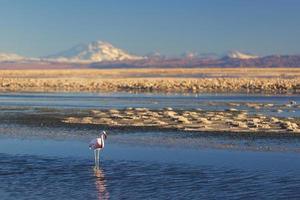 flamant chilien, désert d'Atacama