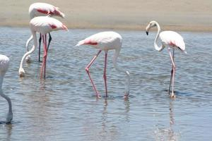 Flamants roses dans la lagune de Walvis Bay, Namibie, Afrique