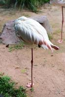 les flamants d'oiseaux dorment sur un pied.