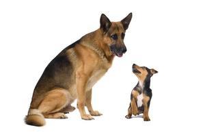 Shepard allemand et un jack russel terrier