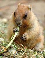 marmotte photo