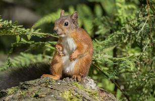 écureuil roux, assis sur un tronc d'arbre à la recherche de curieux