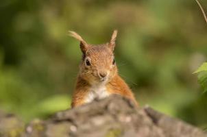 écureuil roux, sciurus vulgaris, sur un tronc d'arbre, head shot