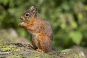 écureuil roux, assis sur un tronc d'arbre mangeant une noix