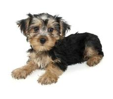 chiot morkie