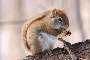 écureuil roux sur branche
