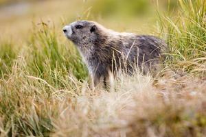 marmotte olympique (marmota olympus) parmi les herbes de montagne photo