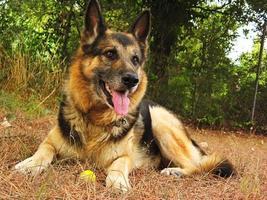 chien de race berger allemand