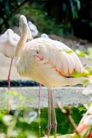 flamants roses au zoo