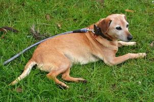 chien foxle foxhound