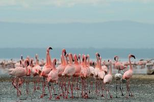 flamants roses sur le lac nakuru