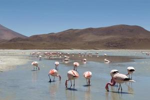 flamants roses sur laguna hedionda photo