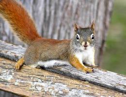 l'écureuil roux photo