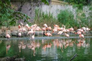 oiseaux flamants roses dans un étang