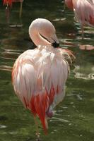 beau flamant rose pataugeant