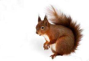 écureuil roux (sciurus vulgaris)