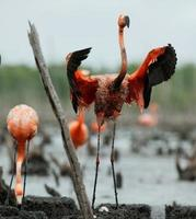 colonie de flamants roses (Phoenicopterus ruber).