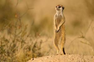 alerte suricate