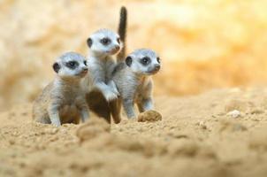 chiots suricate photo