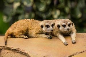 suricate reposant sur le sol photo