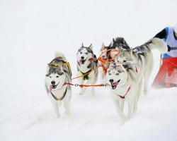traîneau husky sibérien photo